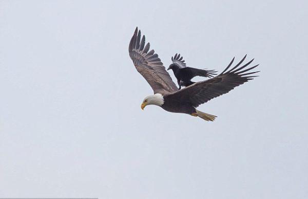 ворон и орлан