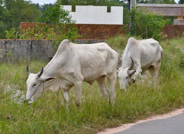 время тощих коров