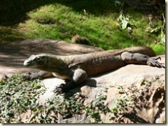 Komodo dragon - a monitor lizard