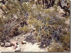 A creosote bush