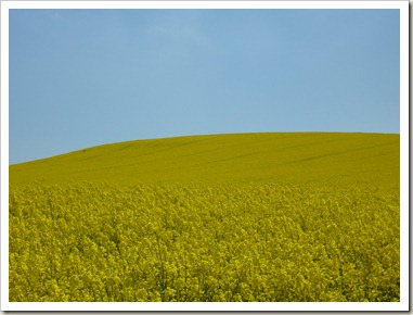 A field of oilseed rape.