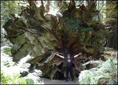 Roots of a fallen redwood