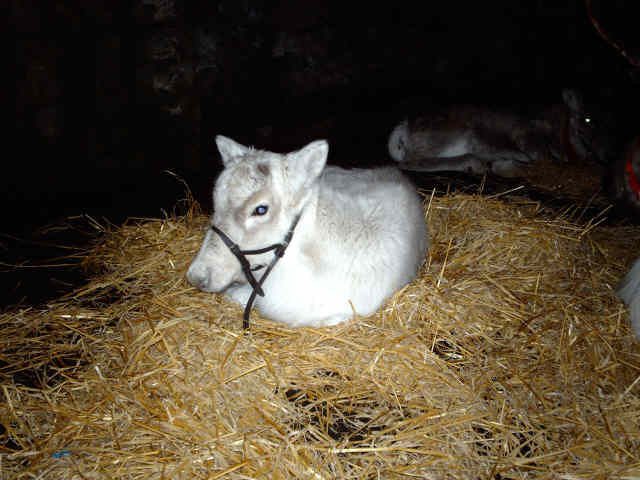 Reindeer calf (Lulu)