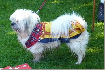 A proud-looking small dog wearing a Lion Rampant coat
