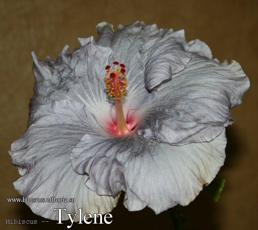 141 - Tylene