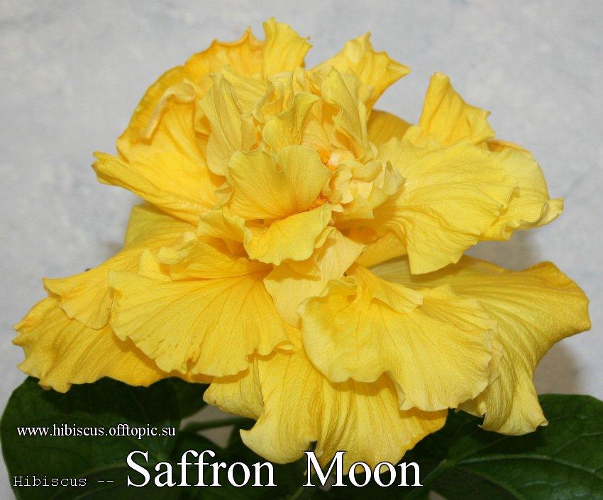 143 - Saffron Moon