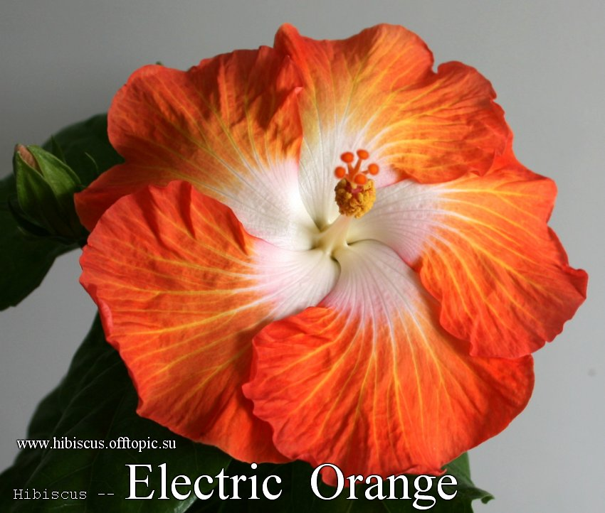 144 - Electric Orange