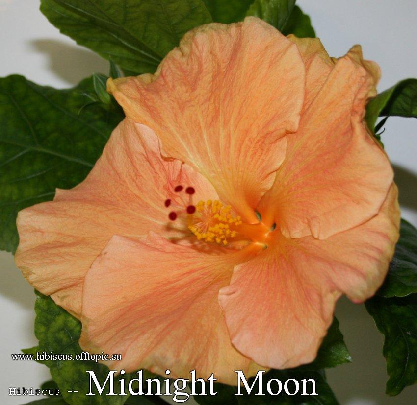 149 - Midnight Moon