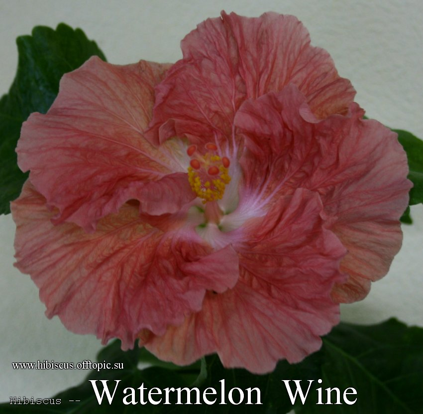 157 - Watermelon Wine