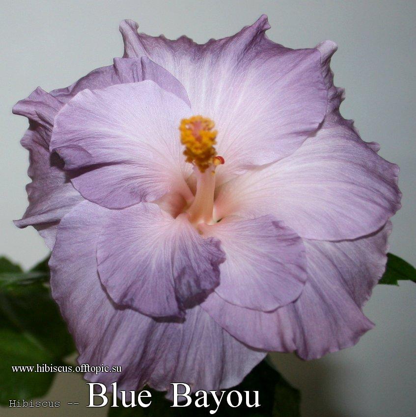 158 - Blue Bayou