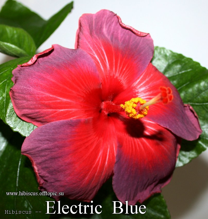 159 - Electric Blue