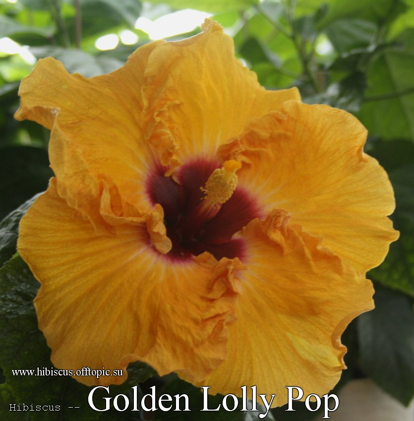 165 - Golden Lolly Pop