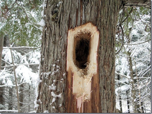 Woodpecker Excavation