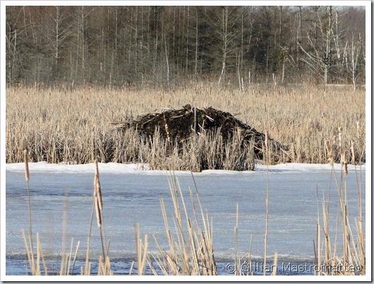 Beaver Lodge #1