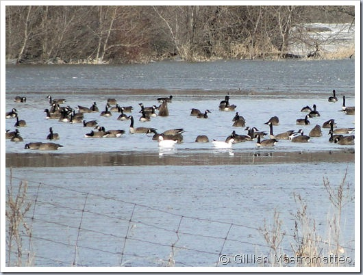 Ross's Geese and Canada Geese