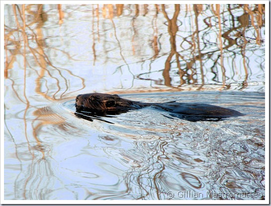 Beaver in the early morning light