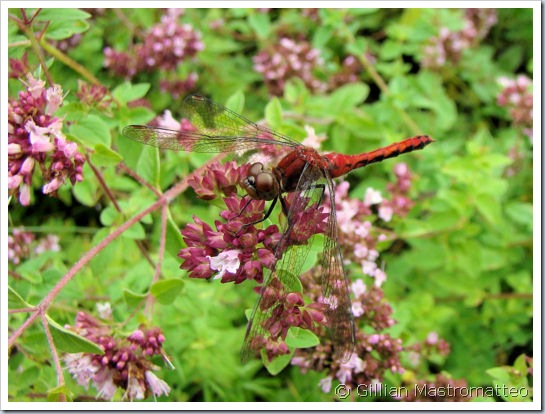 Meadowhawk sp. (possibly Cherry-faced)
