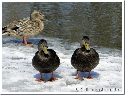 American Black Ducks (with mallard)