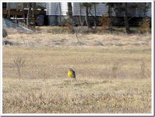 A distant meadowlark