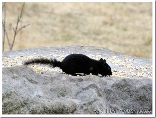 Melanistic Black Chipmunk