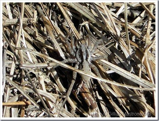 Probable Wolf Spider