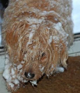 snowy Hamish