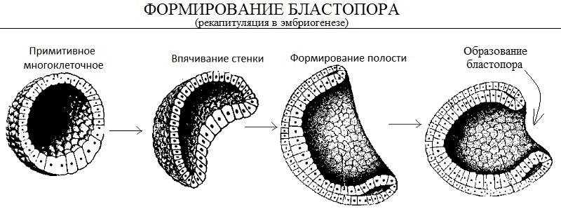 для многоклеточных паразитов человека характерно