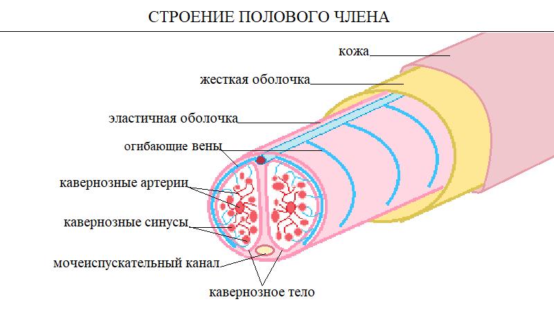 Отток крови от пениса по венам