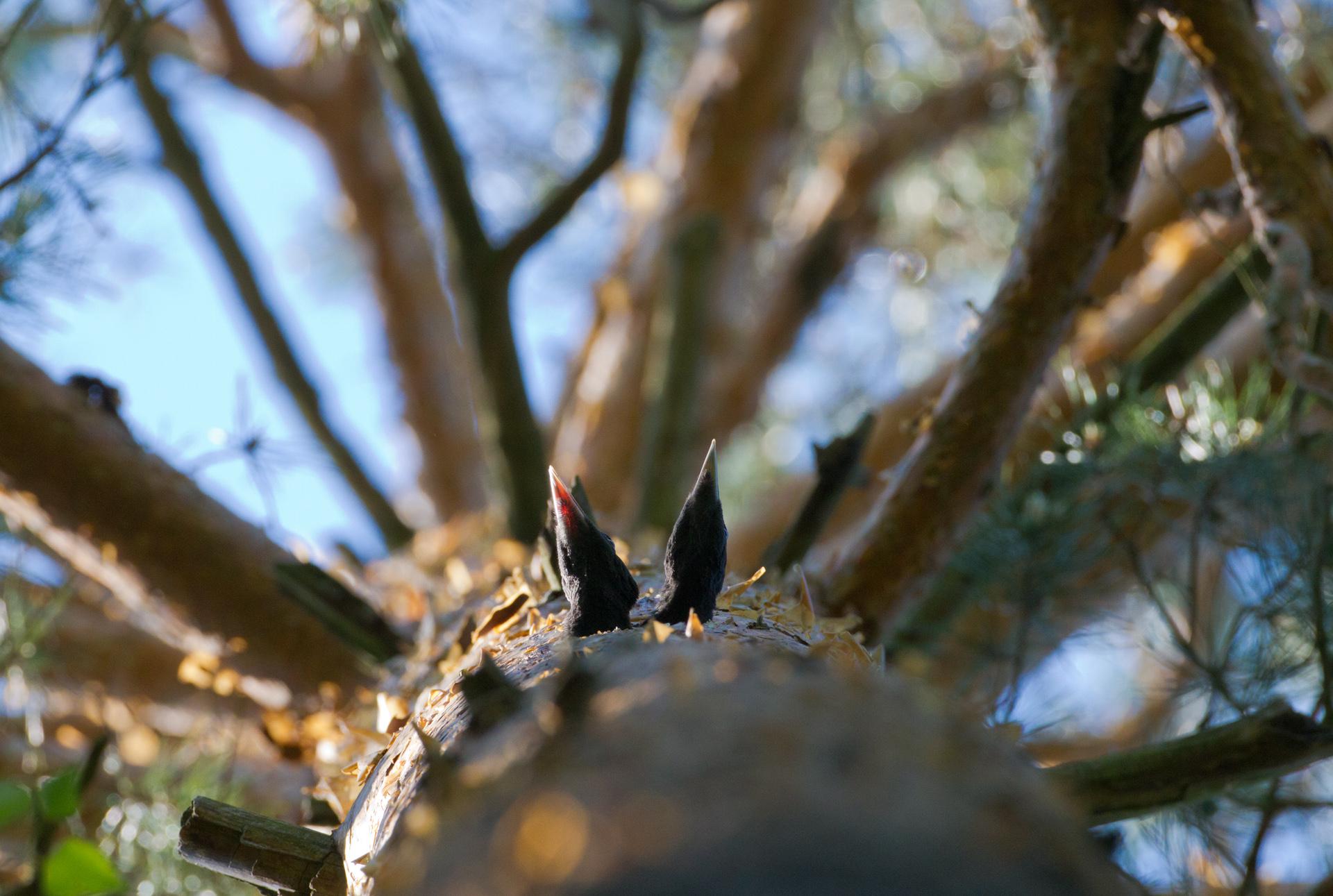 Птицы_Гнездо_на_сосне