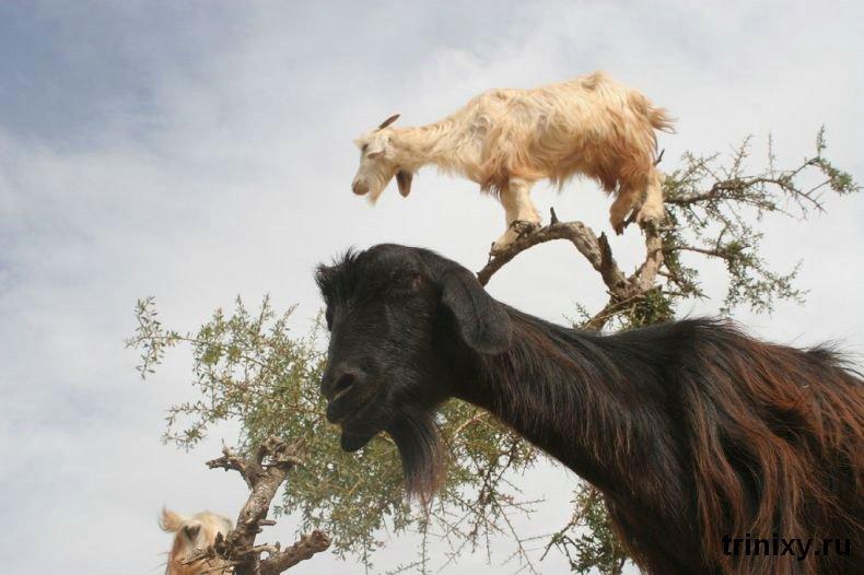 goats_tree_26