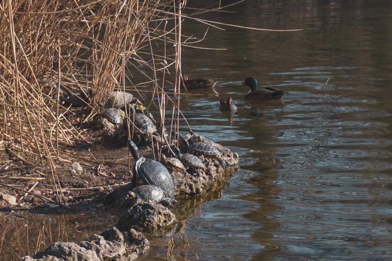 На пруду в парке плавают утки, а у берега мы заметили скульптурки черепах. Через пять минут одна из скульптурок шевельнула лапой