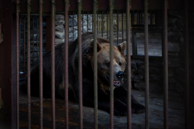 Медведь реально здоровенный, но жалко его