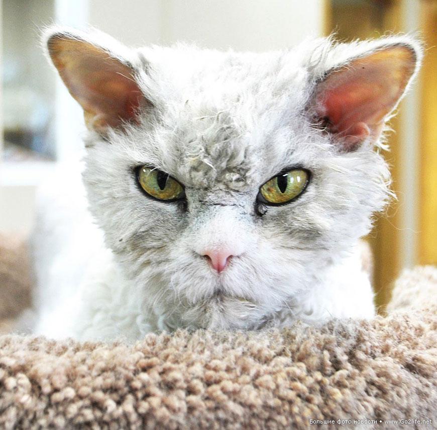 Кот Напыщенный Альберт