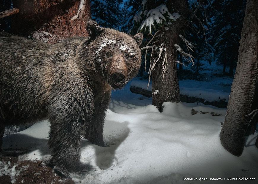 медведь гризли ворует орешки