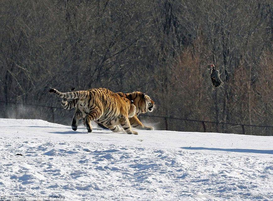комедийное падение тигра