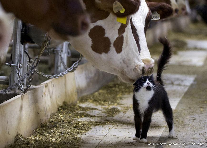 Общительный фермерский кот в коровнике