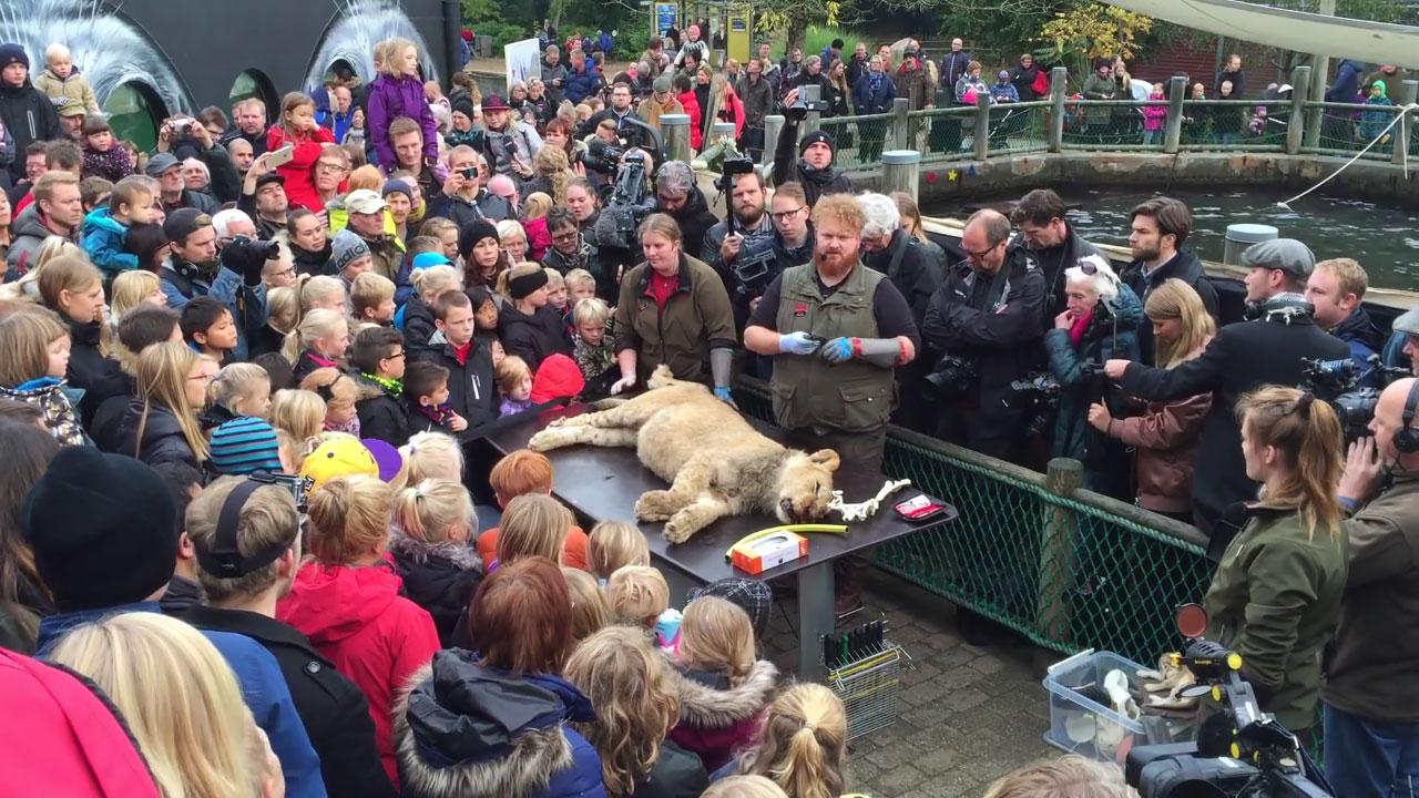 Дания. Препарирование молодого льва