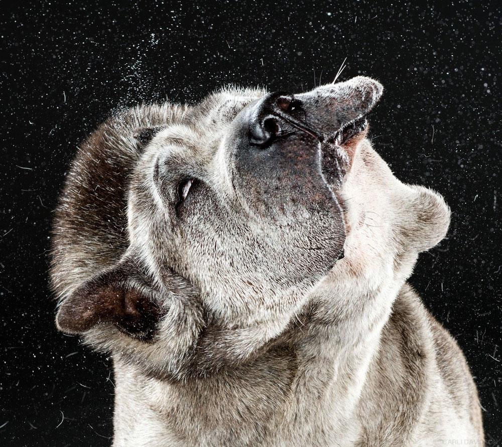 Отряхивающиеся собаки