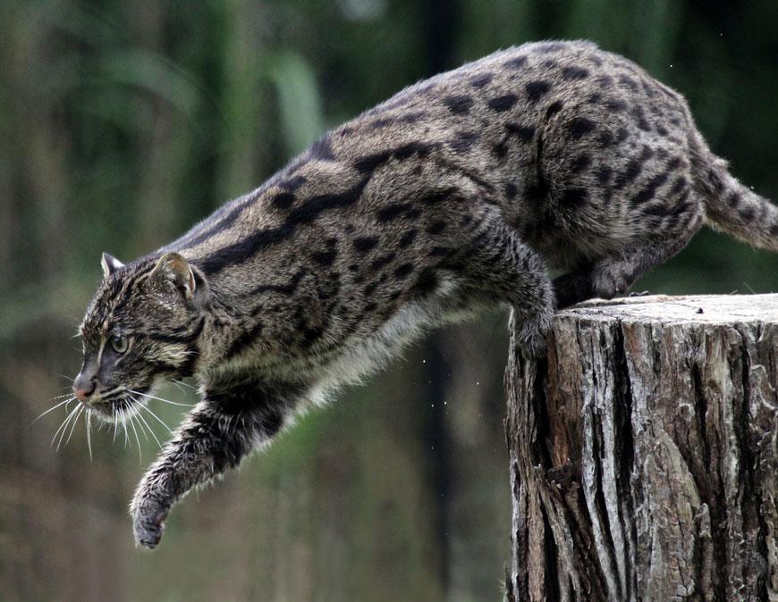 Редкие таинственные дикие кошки