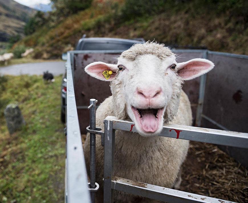 Открытки собирают, прикольная картинка овца