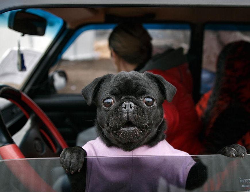собака за рулем картинки смешные поздравляю вас профессиональным