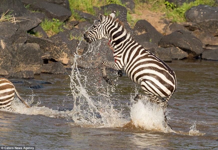 Зебра стала обедом для двух хищников