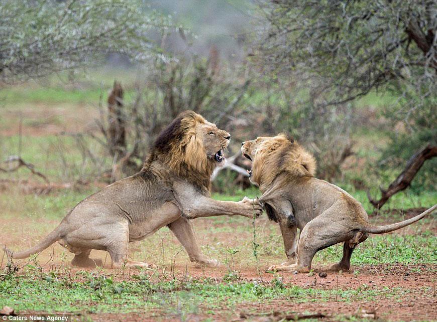 Жесткий бой двух львов
