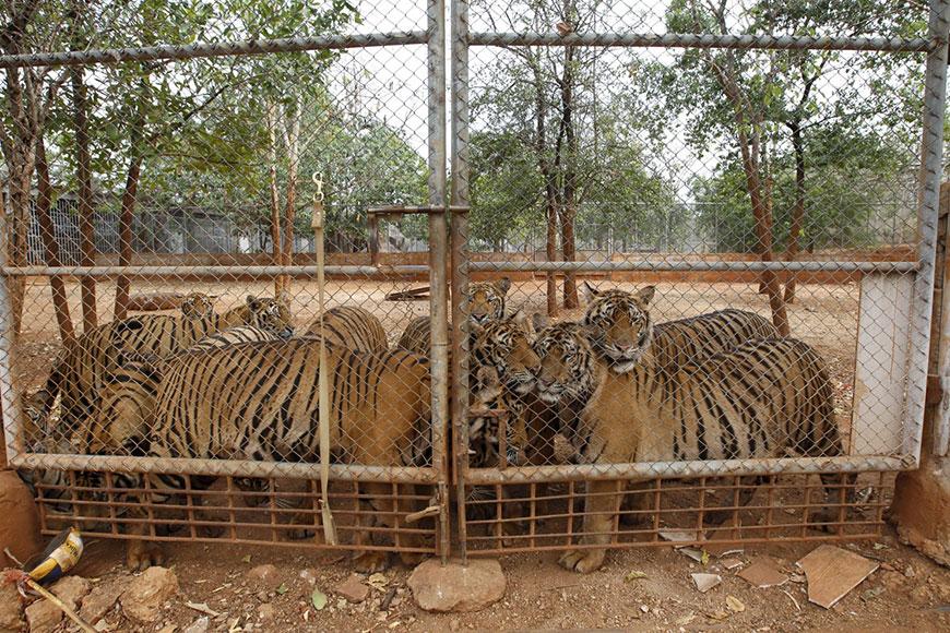Храм тигров в тайской провинции