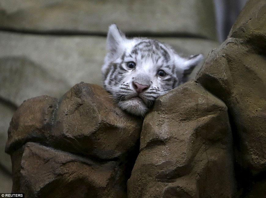 Новорожденные белые тигрята в чешском зоопарке