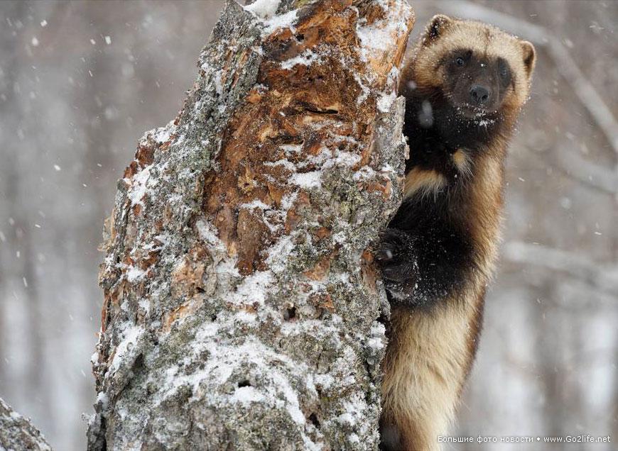 Лесные истории: росомаха на дереве