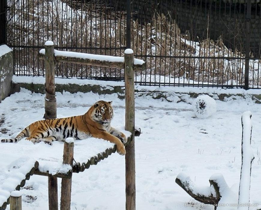 Тигрица лепит снеговика