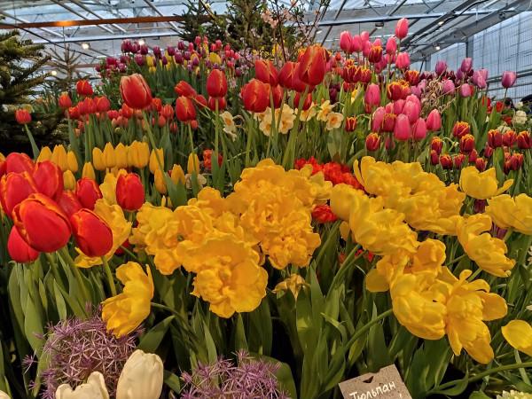 Репетиция Весны. Тюльпаны