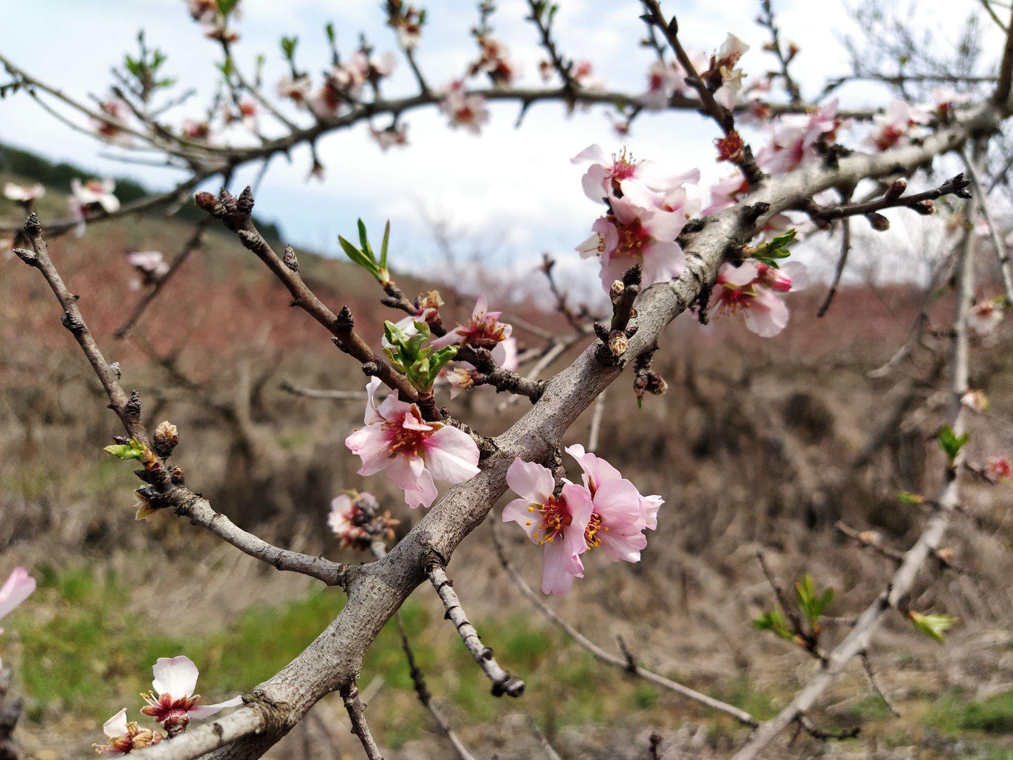 Под сенью персиков в цвету