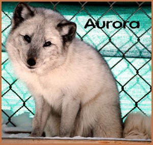 Aurora - 2013 (shauna)